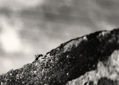 Climbing ant - 0,1